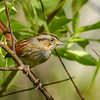 SwampSparrow-EmeraldaMarsh-10-30-19-SJS-008