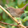 HouseWren-PineMeadowsCA-12-24-19-SJS-002
