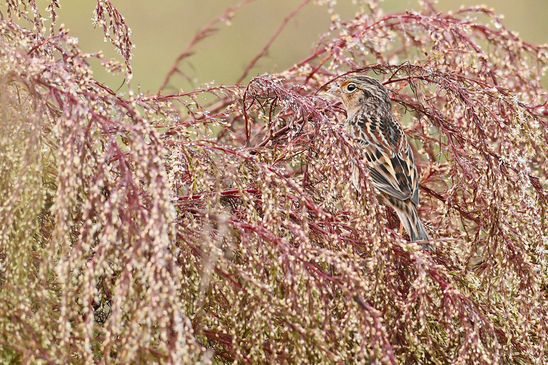 GrasshopperSparrow-LAWD-11-25-18-SJS-03