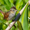 SwampSparrow-EmeraldaMarsh-2-27-19-SJS-002