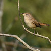 HouseWren-OcalaNationalForest-11-7-19-SJS-001