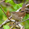 HouseWren-PineMeadows-11-15-19-SJS-001