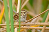 SavannahSparrow-OrlandoWetlandsFL-3-6-17-SJS-006