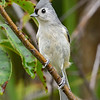 TuftedTitmouse-PineMeadows-11-15-19-SJS-004
