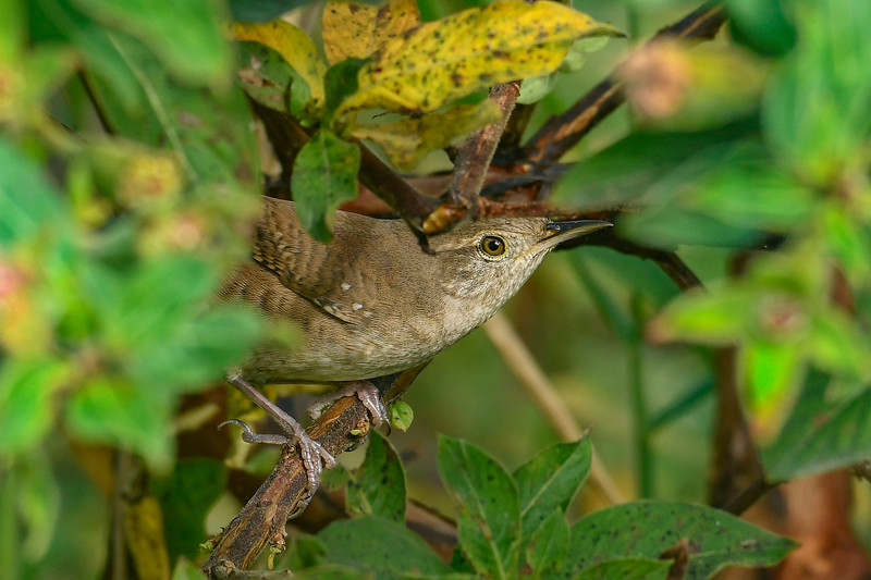 HouseWren-EmeraldaMarsh 10-22-19-SJS-001