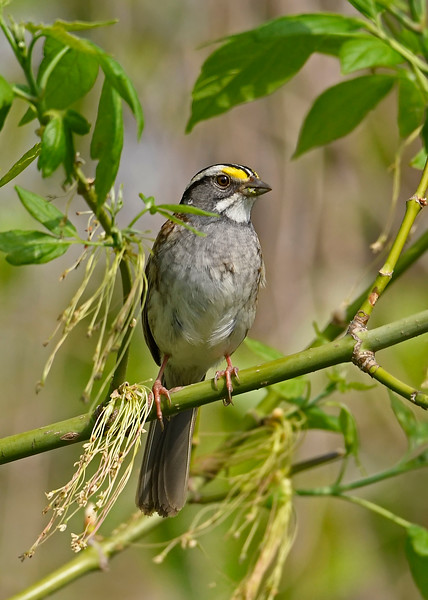 WhiteThroatedSparrow-MageeMarsh-5-9-18-SJS-002