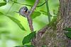 Tufted-titmouse-NestingHole-WCP-5-23-17-SJS-006