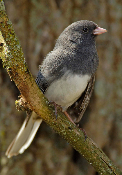 Slate-coloredJunco-004