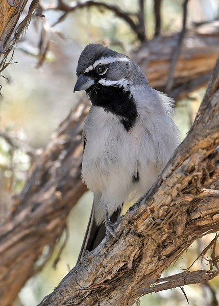 Black-ThroatedSparrow-Utah-6-24-18-SJS-006