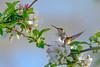 RubyThroatedHummingbird-MageeMarsh-5-14-19-SJS-003