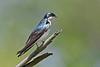 TreeSwallow-MaumeeBayStatePark-5-18-17-SJS-002