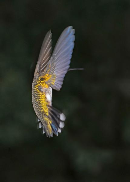 RubyThroatedHummingbird-DausetNatureCenter-JacksonGA-9-1-19-SJS-006