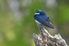 TreeSwallow-MageeMarsh-5-13-19-SJS-001 (1)