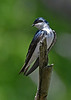 TreeSwallow-MaumeeBayStatePark-5-18-17-SJS-004