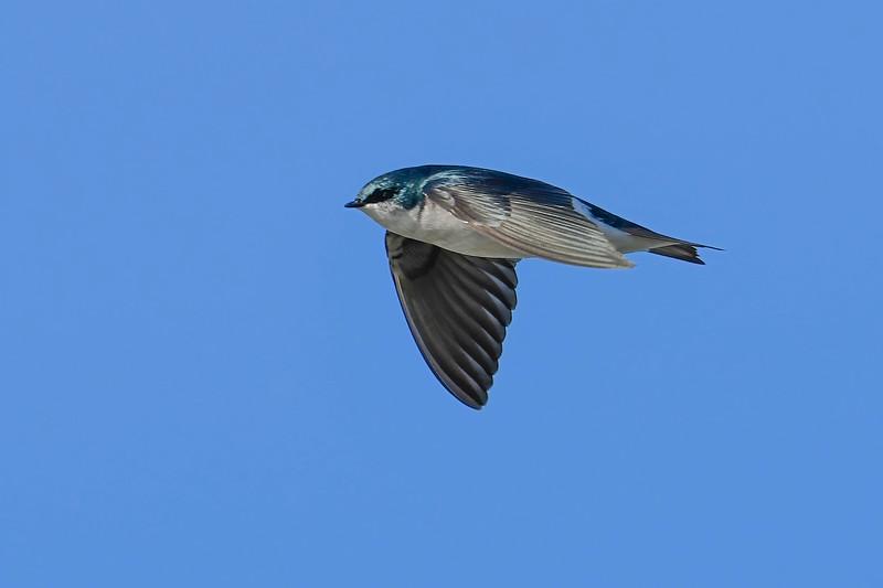 TreeSwallow-EmeraldaMarsh-12-23-20-sjs-003
