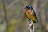 BarnSwallow-LAWD-5-2-18-SJS-002