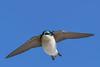 TreeSwallow-EmeraldaMarsh-12-8-20-sjs-002 (1)