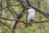 TreeSwallow-MageeMarsh-5-13-19-SJS-001