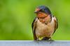 BarnSwallow-LAWD-6-19-20-SJS-06