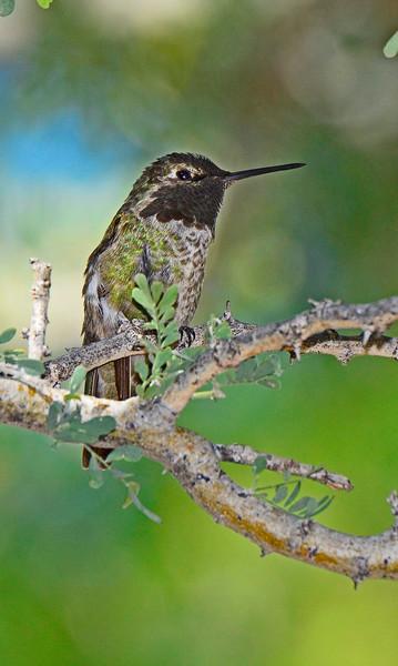 AnnasHummingbird-AZ-2015-001