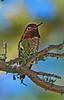 AnnasHummingbird-AZ-2015-002