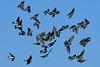 TreeSwallow-PineMeadowsCA-12-9-20-sjs-001