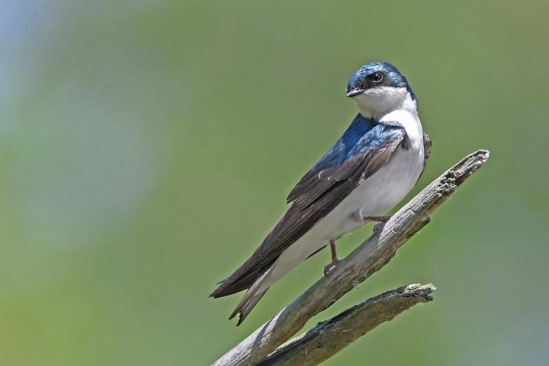 TreeSwallow-MaumeeBayStatePark-5-18-17-SJS-001