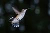 RubyThroatedHummingbird-DausetNatureCenter-JacksonGA-9-1-19-SJS-002