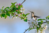 RubyThroatedHummingbird-MageeMarsh-5-14-19-SJS-002