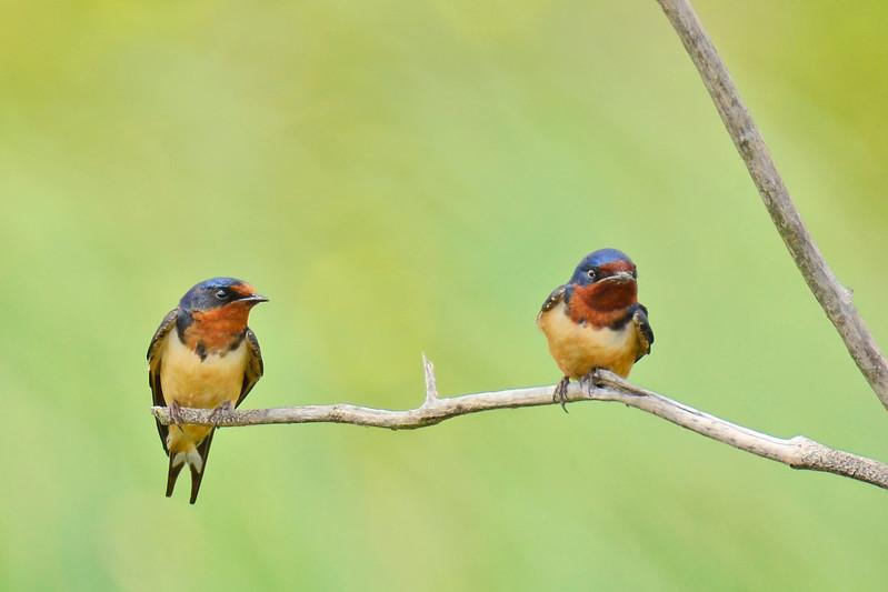BarnSwallow-LAWD-4-15-17-SJS-003