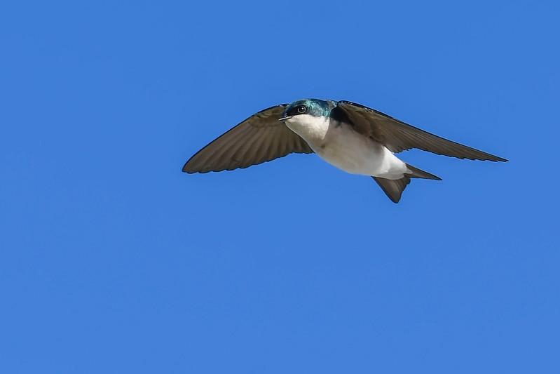 TreeSwallow-EmeraldaMarsh-12-8-20-sjs-001