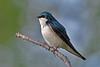 TreeSwallow-MM-5-19-17-SJS-001
