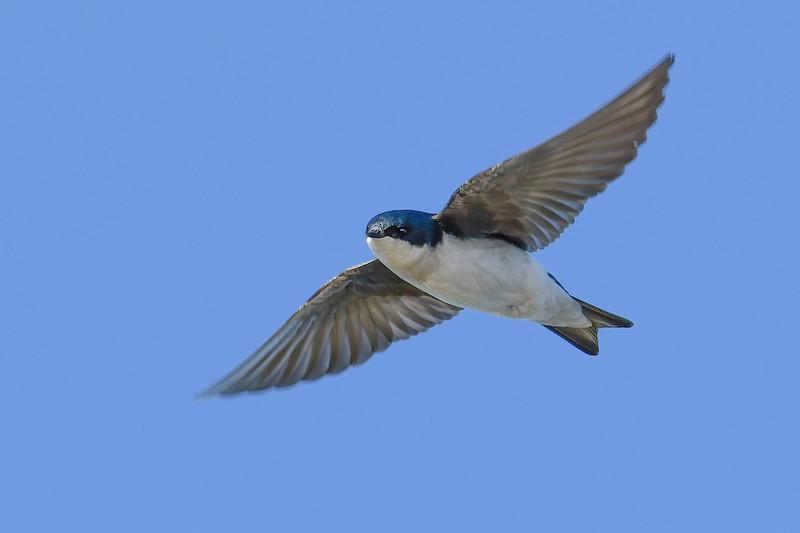 TreeSwallow-EmeraldaMarsh-12-23-20-sjs-001