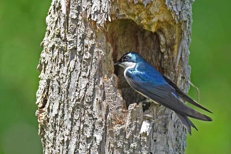 TreeSwallow-MaumeeBayStatePark-5-18-17-SJS-005
