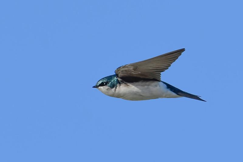 TreeSwallow-EmeraldaMarsh-12-23-20-sjs-004