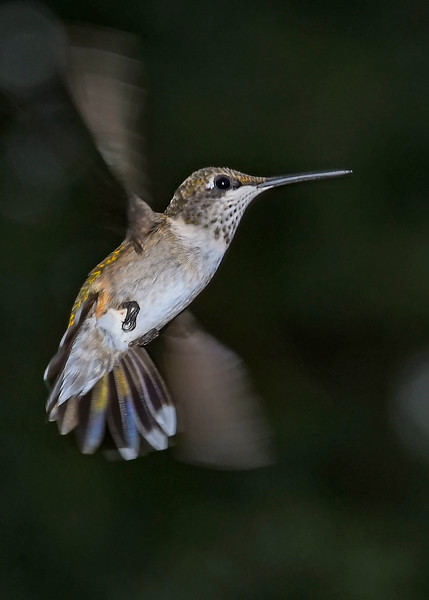 RubyThroatedHummingbird-DausetNatureCenter-JacksonGA-9-1-19-SJS-004