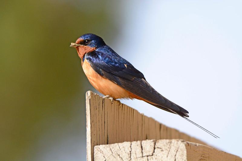 BarnSwallow-KS-2015-001