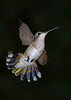 RubyThroatedHummingbird-DausetNatureCenter-JacksonGA-9-1-19-SJS-003