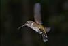 RubyThroatedHummingbird-DausetNatureCenter-JacksonGA-9-1-19-SJS-021
