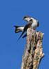 TreeSwallow-MageeMarsh-5-8-18-SJS-001