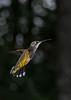RubyThroatedHummingbird-DausetNatureCenter-JacksonGA-9-1-19-SJS-009