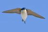 TreeSwallow-EmeraldaMarsh-12-8-20-sjs-001 (1)