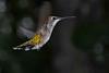 RubyThroatedHummingbird-DausetNatureCenter-JacksonGA-9-1-19-SJS-011
