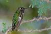 AnnasHummingbird-AZ-2015-007