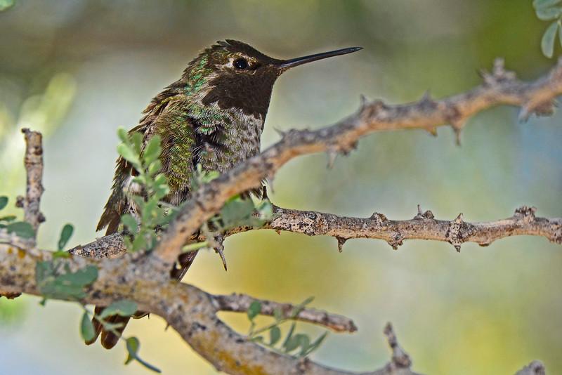 AnnasHummingbird-AZ-2015-006