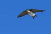 TreeSwallow-EmeraldaMarsh-12-8-20-sjs-002