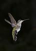 RubyThroatedHummingbird-DausetNatureCenter-JacksonGA-9-1-19-SJS-015