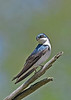 TreeSwallow-MaumeeBayStatePark-5-18-17-SJS-003