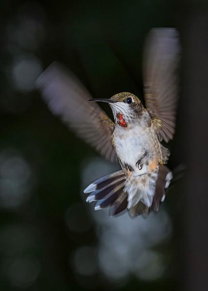 RubyThroatedHummingbird-DausetNatureCenter-JacksonGA-9-1-19-SJS-016