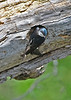 TreeSwallow-MM-5-17-17-SJS-002